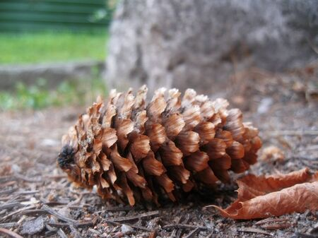 Fir cone and fallen leaf laying on the ground photo