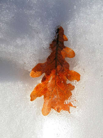 Fallen oak leaf laying in the snow and sunlight over photo