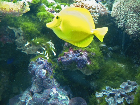 Tropical yellow exotic fish moving underwater near the bottom Stock Photo - 13507679