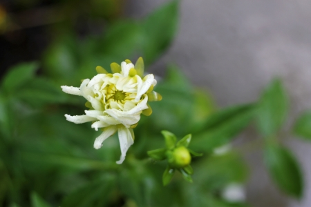 White dahila blooming in the garden summertime after rain photo