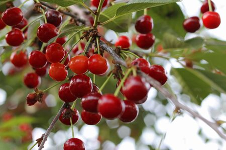 Red cherries on the branch of tree