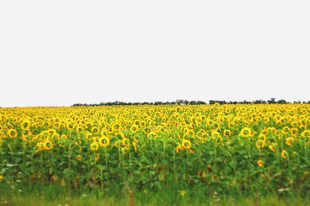 landsape: Wide field of sunflowers  The Summertime landsape