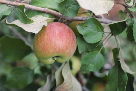 zweig: Green and red apple hanging on tree Stock Photo