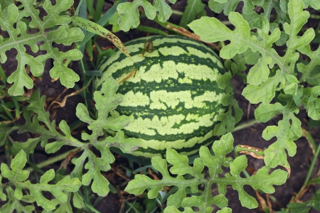 Watermelon growing in the garden laying on the ground Stock Photo