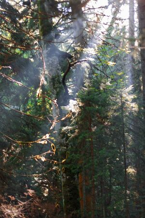 Morning forest and sun rays striking through the branches