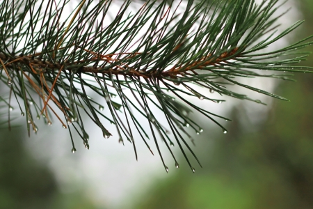 Pine tree branch and drops in autumn day photo