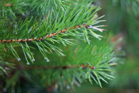 Pine tree branch and drops in autumn day