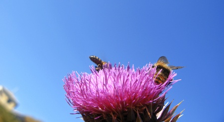 Bee landing on the thistle Stock Photo - 15571814