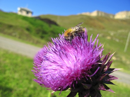 Bee landing on the thistle Stock Photo - 15588533