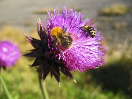 Bee landing on the thistle Stock Photo - 15617684