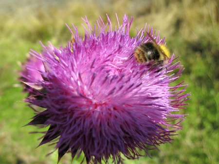 Bee landing on the thistle Stock Photo - 15796507