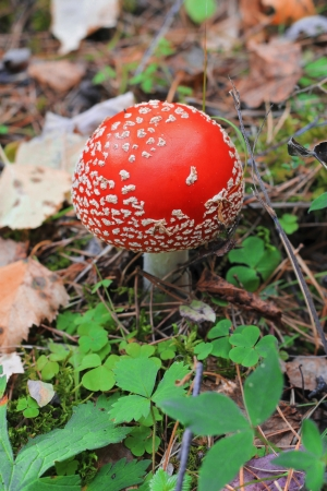 poisoned: Red poisoned mushroom growing in the summer forest