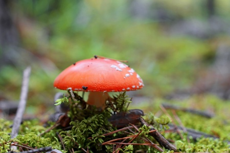 Red poisoned mushroom growing in the summer forest photo