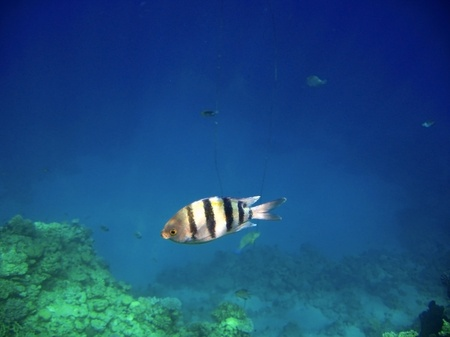 sergeant: Tropical exotic fishes underwater  The Red sea