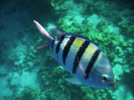 sharm el sheik: Tropical exotic fishes underwater  The Red sea