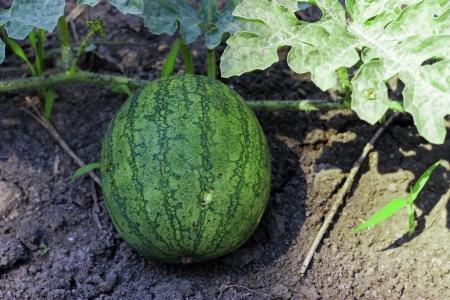melon field: A Watermelon On The Green Melon Field