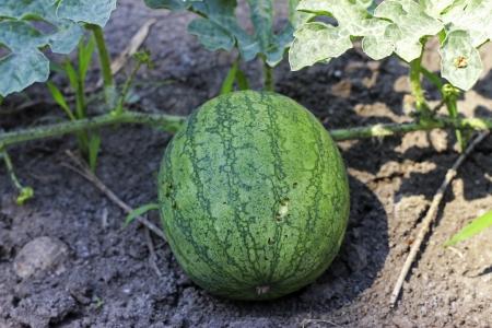 melon field: Watermelon On The Green Melon Field Stock Photo