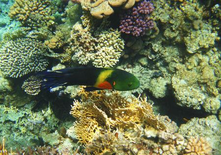 cheilinus: Tropical exotic fish in the Red sea  Cheilinus lunulatus