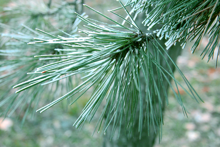 Snow laying on the green pins of Christmas tree photo