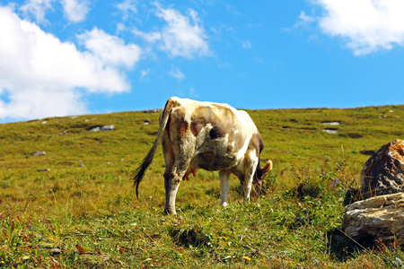 Lonely Cow On The Caucasus Mountain Grassland photo