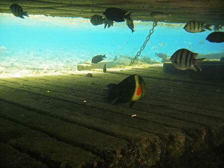 cheilinus: Tropical exotic fish in the Red sea. Cheilinus lunulatus Stock Photo