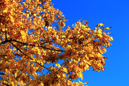 Yellow autumn leaves on the branches against blue sky photo