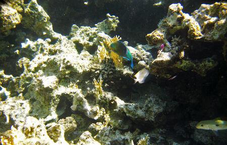 cheilinus: Tropical exotic fish underwater. The pseododax moluccanus