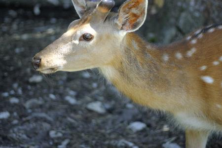 odocoileus: White-Tailed Deer Odocoileus virginianus Fawn Stands