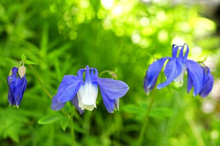 field of flower: Blu campo di fiori sulla montagna d'estate prato Archivio Fotografico