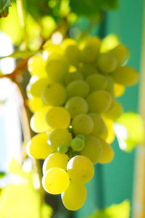 white grape: Bunch Of White Grape In The Vineyard