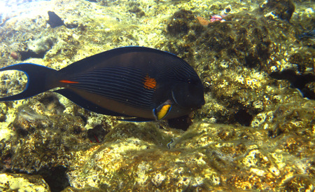 acanthurus: Tropical exotic fish acanthurus underwater in the water Red Sea