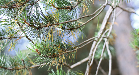 Branches of fir tree evergreen with needles
