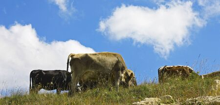 Cows on ths summer meadow against blue sky