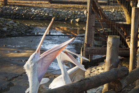 Two white pelicans catch a fish from customers of zoo