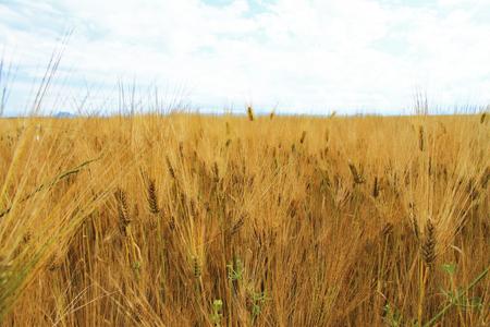 Golden Ears On The Summer Field Before Harvest