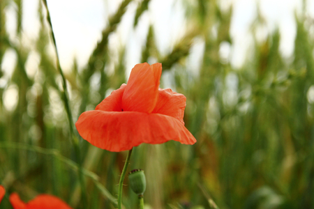 Red poppy flowers on the field of wheat summertime