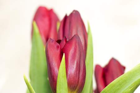 Bouquet of dark red tulip isolated on white background