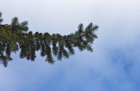 Blue spruce tree branch background against blue sky in horisontal position