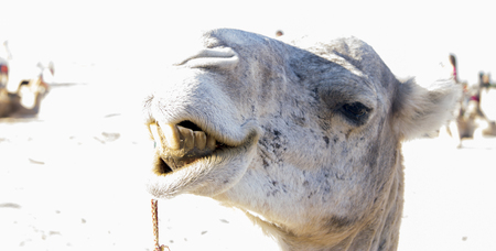 Dromedary camel closeup in the sand of Sahara desert, Tunisia, North Africa