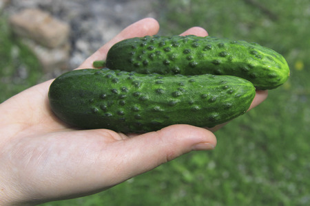 Woman hands holding in palm fresh organic delicious cucumbers outdoor on the vegetable garden
