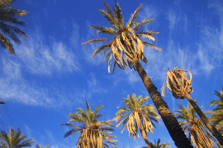 Date palm tree with date fruits against blue sky with white clouds in oasis