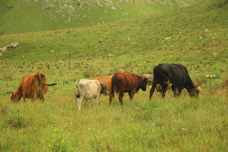 Herd of cows grazing on ths summer green alpine meadow