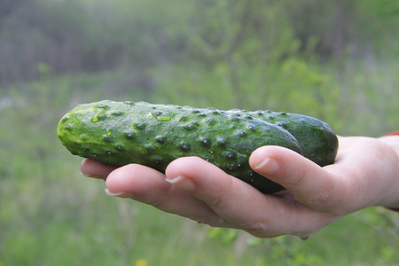 Woman hands holding in palm fresh organic cucumbers outdoor on the vegetable garden Stock Photo