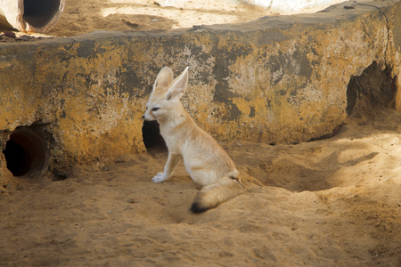 Fennec fox - desert fox with big ears Vulpes zerda sitting in the zoo Stock Photo