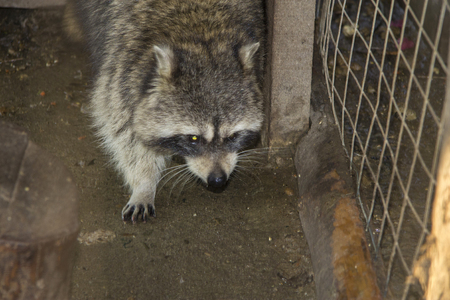 The Raccoon aka Procyon lotor moving in the zoo