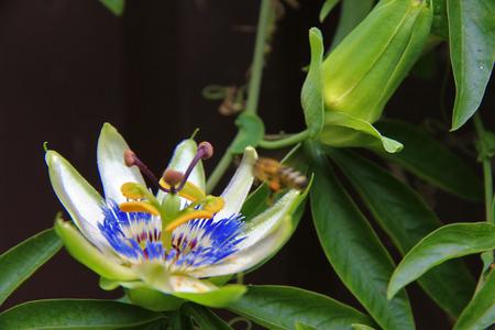 Fleur de la passion qui fleurit dans le jardin tropical agrandi. La passiflore fleurit à l'extérieur