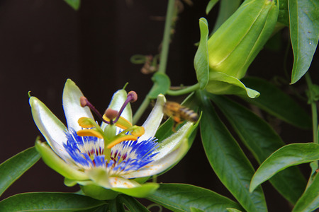 Passion flower blooming in tropical garden closeup. Passiflora blossoming outdoors