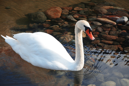 Snow white swan swimming in the pond and reflection of blue sky in the water