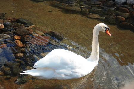 Snow white swan swimming in the pond and reflection of blue sky in the water Reklamní fotografie - 124606458