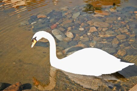 Snow white swan and his reflection swimming in the pond of clear water